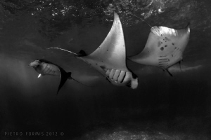 Manta Rays dancing in Nusa Penida by Pietro Formis 